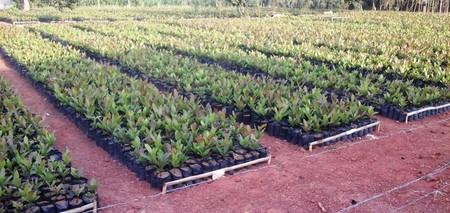 Promotion de la filière anacarde : 300 000 plants à distribuer aux populations de l'Est-Cameroun en 2020