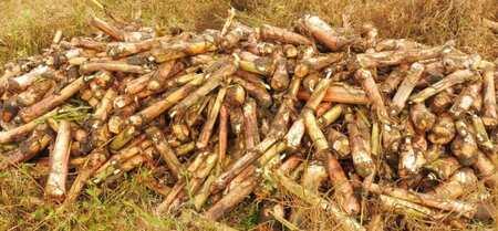 Le recépage permet à l'IRAD de booster la production des rejets de bananiers et plantains au Cameroun