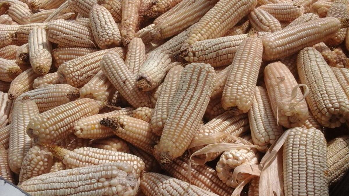 Filière maïs : l'IRAD (Cameroun) forme des jeunes chercheurs et techniciens aux techniques de production durable des semences de pré-base et de base.