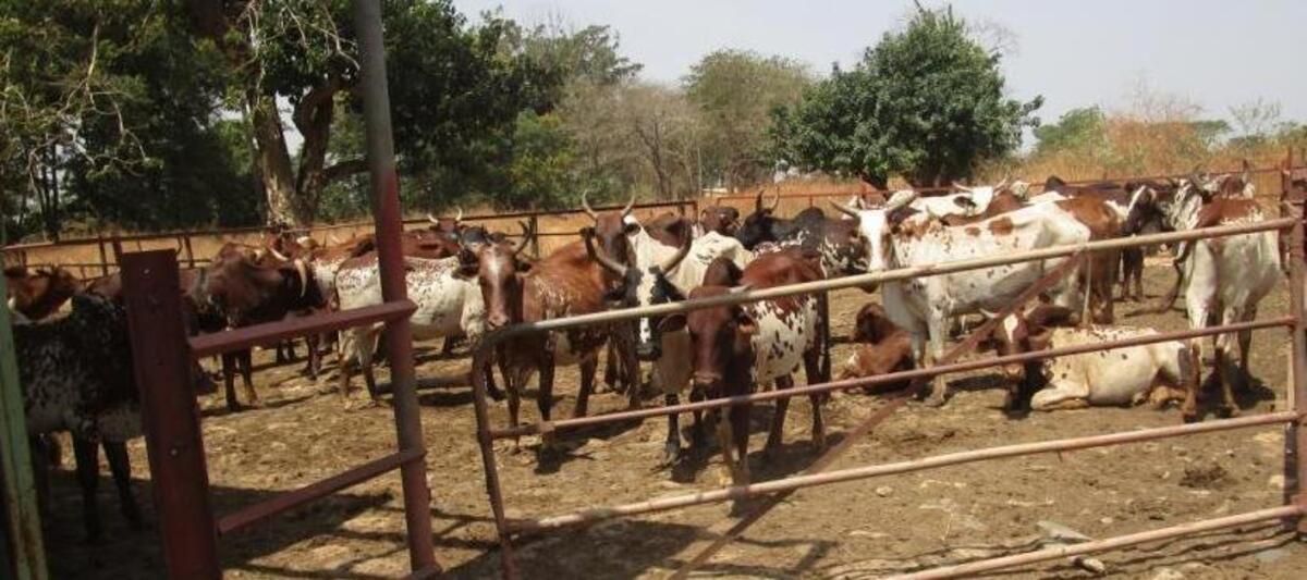La stratégie nationale pour un développement de l'élevage climato-intelligent au Cameroun préoccupe des experts à Yaoundé
